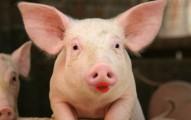 Pig, meet lipstick