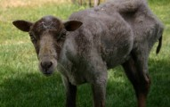 Sheep starving